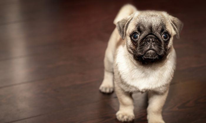 A young pug. Year-old pugs can fetch up to $2,237 in Germany. (Pixabay)