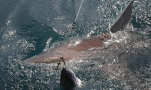 Florida Man Pleads Guilty in Shark-Dragging Video Case