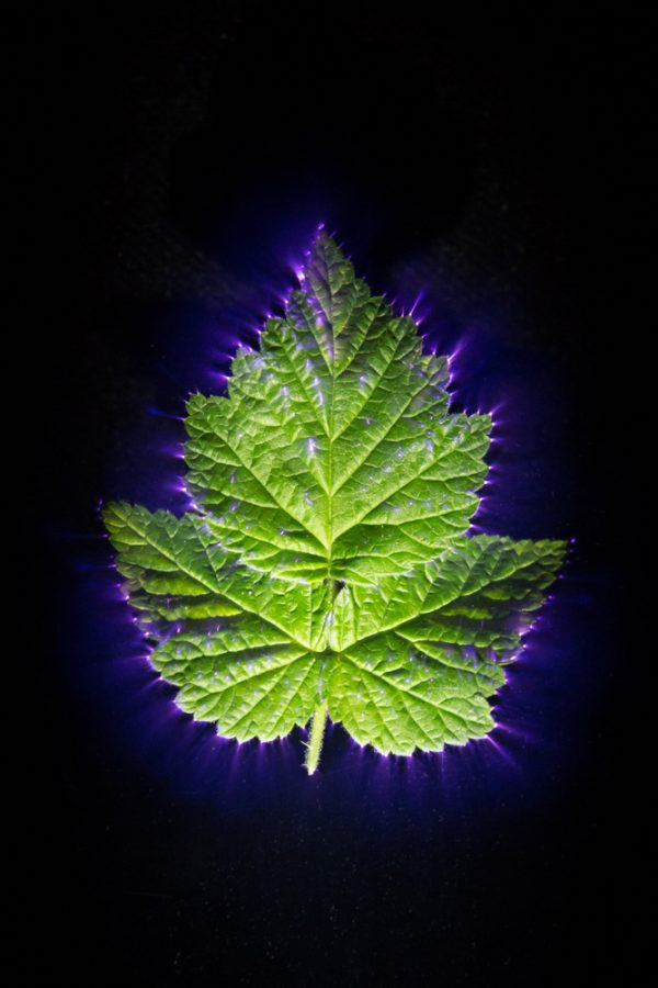 Kirlian image of a plant