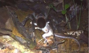 Scientists Record Massive Tarantula Dragging Opossum Through Jungle