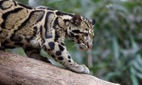 Extinct' Taiwanese Leopard Spotted By Villagers for 1st Time Since Disappearing in 1983