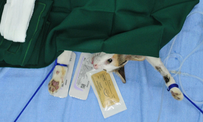 A cat on an operating table. (Veejay Villafranca/Getty Images for WSPA)