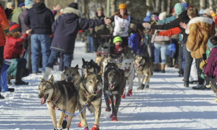 Rookie Victoria Hardwick's team leads the way through cheering fans during the ceremonial start of the Iditarod Trail Sled Dog Race in Anchorage, Alaska, on March 2, 2019. (Michael Dinneen/AP)