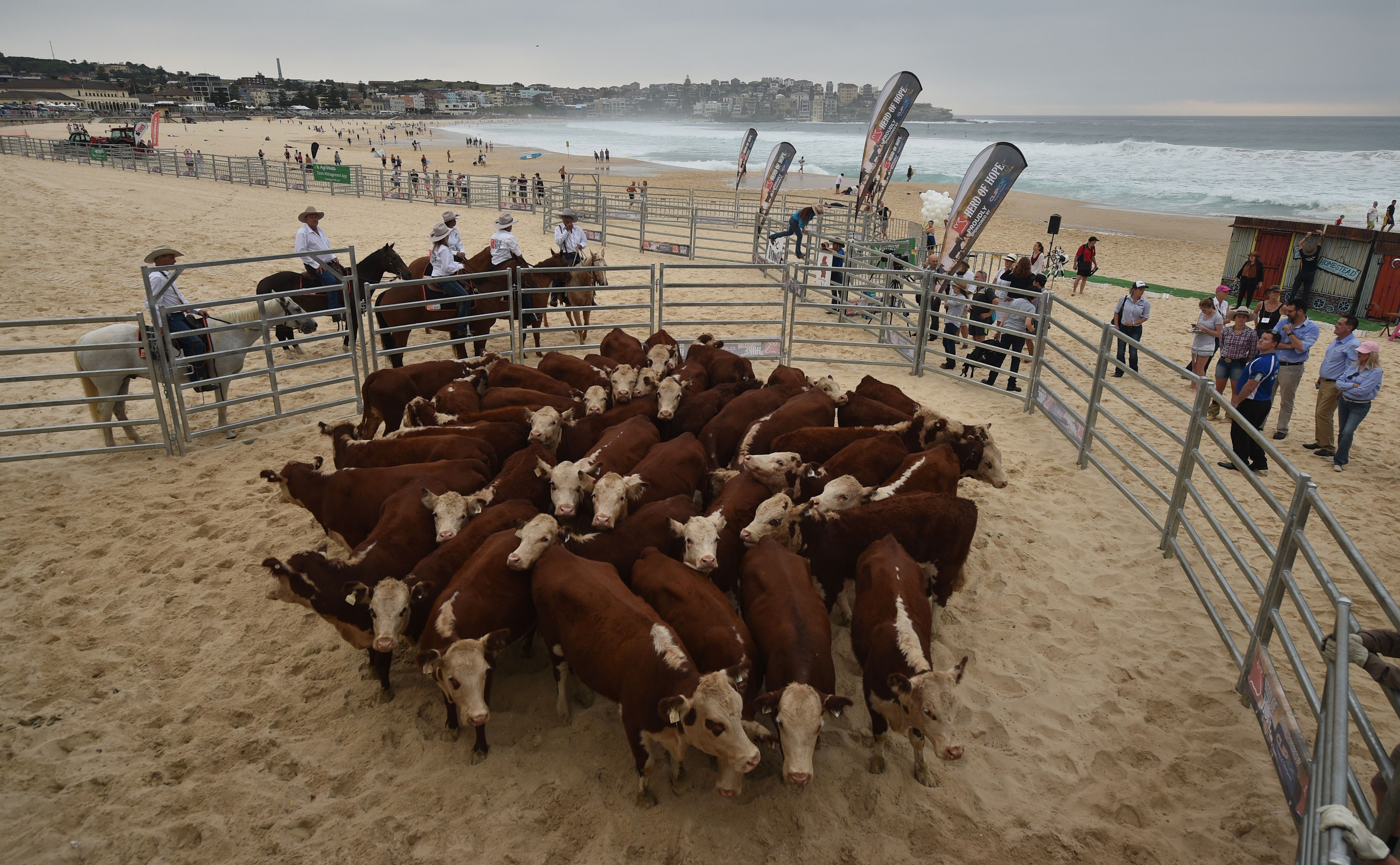 Cows gather together after being released from a cattle truck onto Bondi