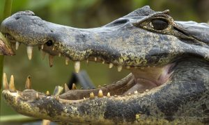 Feds Charge 75 Over Puerto Rico Drug Gang That Fed Victims to Pet Caimans