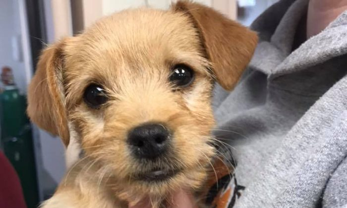 This little six-pound puppy died after he ate nearly 50 short ribs, says the animal shelter Sacramento SPCA on March 3, 2019. (Sacramento SPCA)