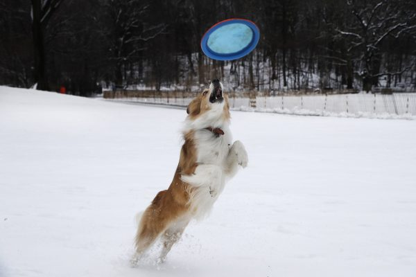A dog named Jelly leaps for a frisbee while playing in Brooklyn's Prospect Park