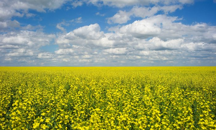 A canola crop used for making cooking oil sits in full bloom on the Canadian prairies near Fort Macleod, Alberta, Canada on July 11, 2011. (Todd Korol/Reuters)