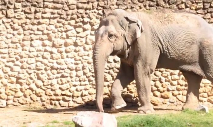 Flavia, dubbed 'the world's saddest elephant' has died at a zoo in Cordoba, Spain. (City of Cordoba)
