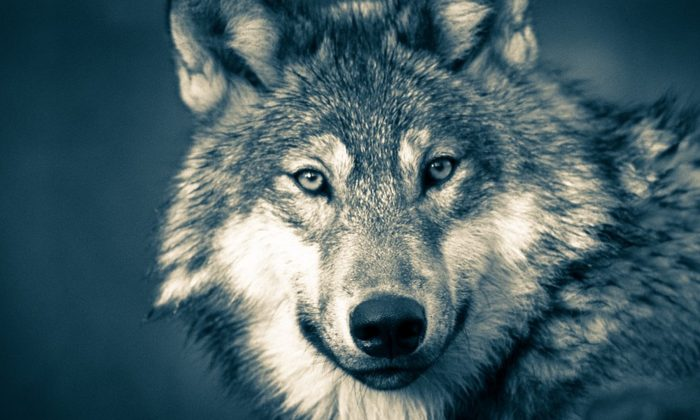 A Minnesota man hit a huge Timberwolf on his way back to home from work on March 3, 2019. About 200 people died in United States from animal-vehicle collision. (Stock image/Pixabay)