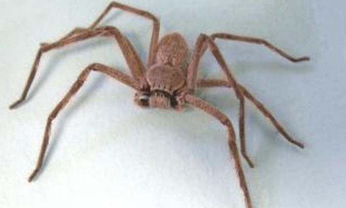 A huntsman spider (agric.wa.gov.au)