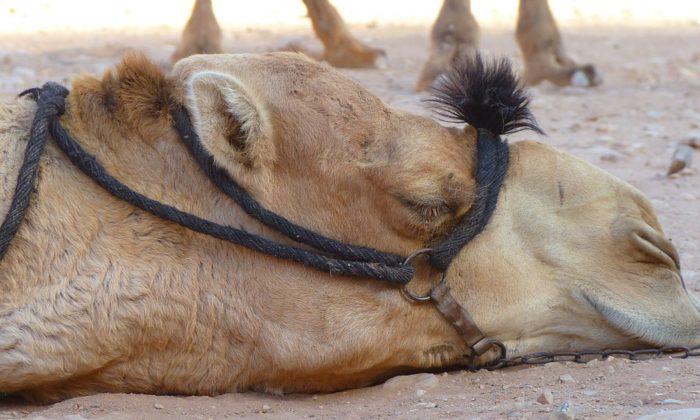 Stock image of a camel (Logga Wiggler/Pixabay)