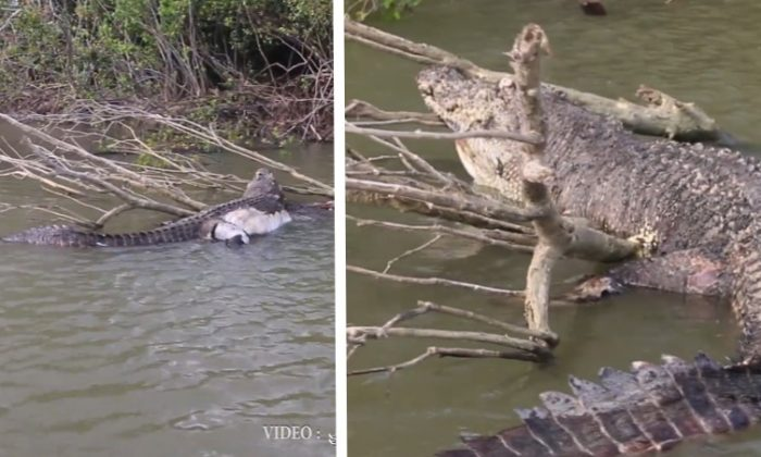 An iconic crocodile named Bismarck lies dead in a waterway in  Cardwell, Australia. (RyanMoodyFishing.com via Storyful)