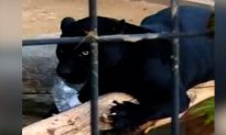 Woman Attacked by a Jaguar While Taking a Photo Apologizes to the Arizona Zoo