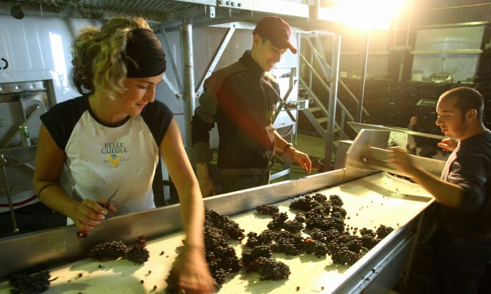Grape sorters inspect the grapes at the De Bortoli winery at Dixons Creekon Feb. 10, 2009. (William West/AFP/Getty Images)