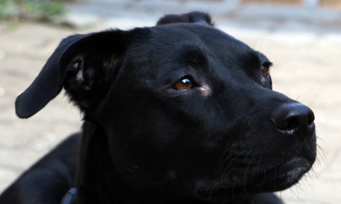 An undated file image shows a black Labrador mix. (Pixabay)