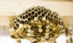 Pest Controller Dies From Wasp Sting 2 Weeks After Multiple Stings With No Effect