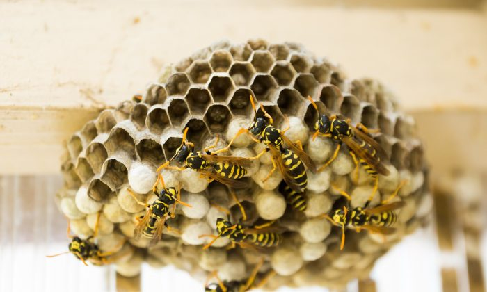 This file image shows a wasps nest. (Pixabay)