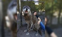 Florida Sanctuary Rescues Giant Wolf 'Yuki' From Kill Shelter