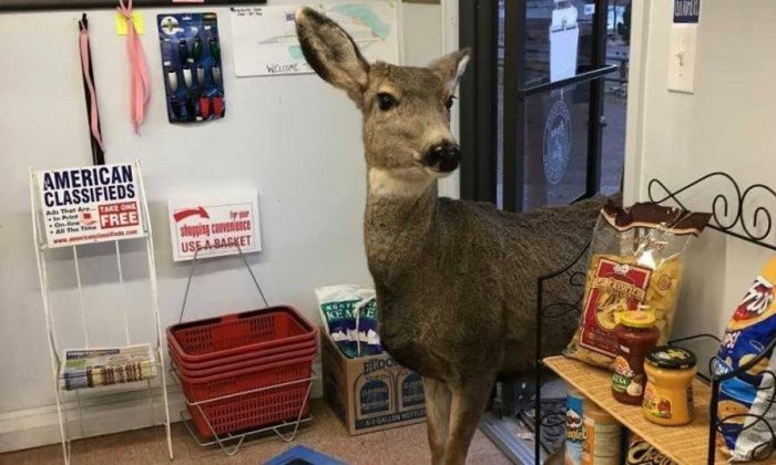 The deer at Horsetooth Inn store in Fort Collins, Colorado. (Lori Jones)