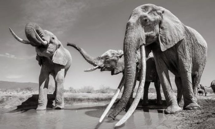 These elephants are increasingly rare, it's estimated that fewer than 20 remain in Africa. (Courtesy Will Burrard-Lucas)