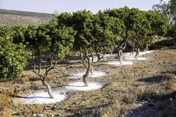 Mastic tree garden in Chios Greece