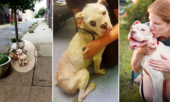 Abused and Abandoned Boxer Finds New Home, Thanks to the Timely Action of a Kind Postman
