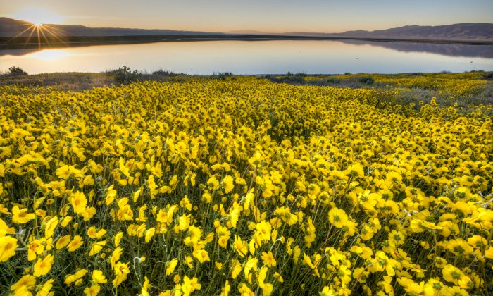 Flowers bloom at the Carrizo Plain National Monument in California in 2017. (Bob Wick/Bureau of Land Management)
