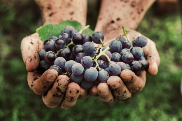 Hands covered in soil holding wine grapes