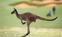 Video Shows Kangaroo Attacking Australian Paraglider After Perfect Landing