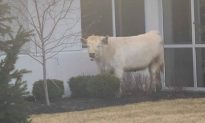 Escaped Cow Stops By Chick-fil-A While Chased by Police