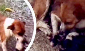 Mother Dog Captured Doing Everything She Can to Protect Babies Just Days After Giving Birth