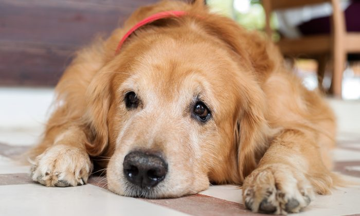 A golden retriever is shown in a stock photo. (Illustration - Shutterstock)