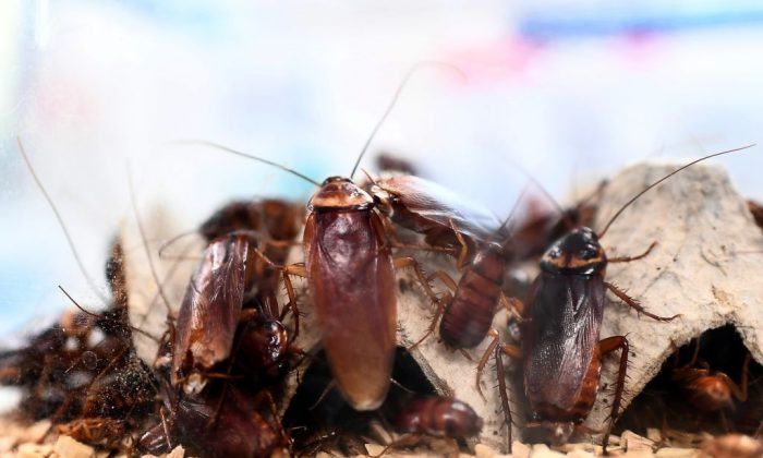 Cockroaches locked in a container at a laboratory at the center of research on infectious diseases of the University Hospital Institute (IHU) Mediterranean Infection in Marseille, France, on March 29, 2018. (Anne-Christine Poujoulat/AFP/Getty Images)