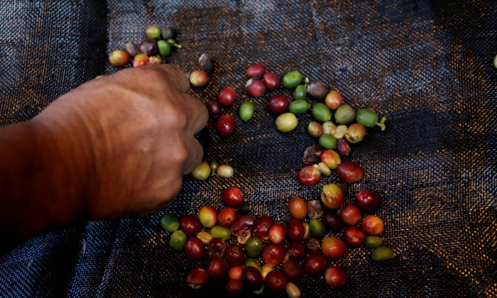 FILE PHOTO: A coffee grower selects coffee fruits on a canvas in Chinchina, Colombia November 22, 2018. REUTERS/Luisa Gonzalez/File Photo