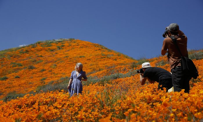 A model poses among wildflowers in bloom in Lake Elsinore, Calif. March 18, 2019. (Gregory Bull/AP Photo)