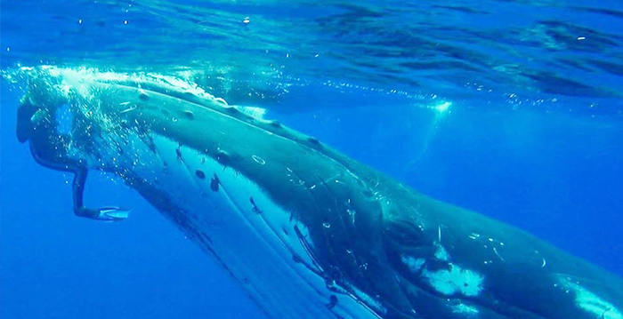 50,000-Pound Whale Tucks Scuba Diver Under Its Fin to Protect Her from Nearby Shark