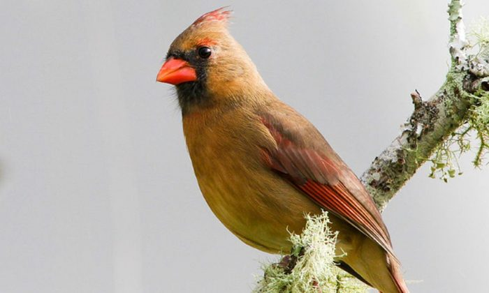 A female Northern Cardinal in Florida. (Craig ONeal via Creative Commons Attribution 2.0 Generic license.)