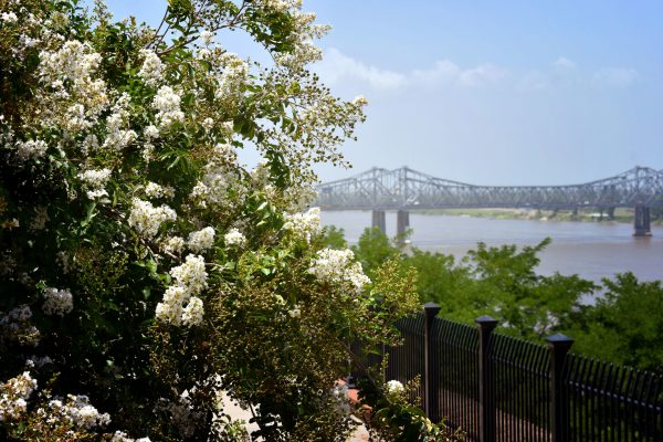 Sweet olive tree in natchez by mississippi river