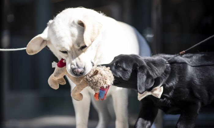 The Labrador Retrievers Lincoln (L) and the 14- week-old puppy Rommy play at the American Kennel Club's (AKC) Museum of the Dog New York. March 20, 2019. (Johanness Eisele/AFP/Getty Images)