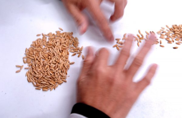 Bio_Tech_Lab_Produces_GM_Rice_In_The_Philippines