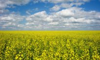China Stops Buying Canadian Canola as Tensions Escalate