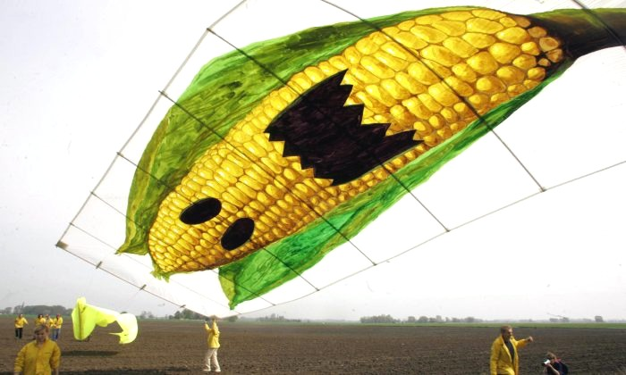 Greenpeace activists fly a kite displaying a giant corn cob to protest against the cultivation of genetically modified maize. According to Greenpeace, the US company Monsanto disseminated transgenic seeds of the type MON810 on the field. (Michael Kappeler/AFP/Getty Images)