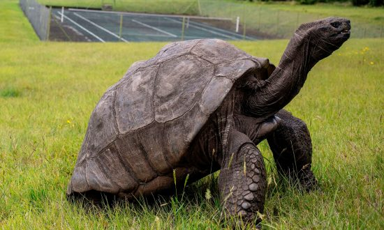 187-Year-Old Jonathan the Tortoise of St. Helena Is the World's Oldest Land Animal