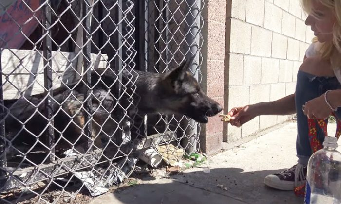 Elsa the German Shepard was rescued by Hope for Paws from being trapped in a fenced compound where street signs are stored. (YouTube Screenshot | Hope For Paws - Official Rescue Channel)