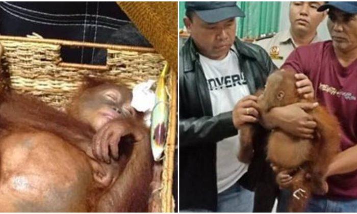 An orangutan found in a suitcase at Ngurah Rai Airport on March 22. (BKSDA)