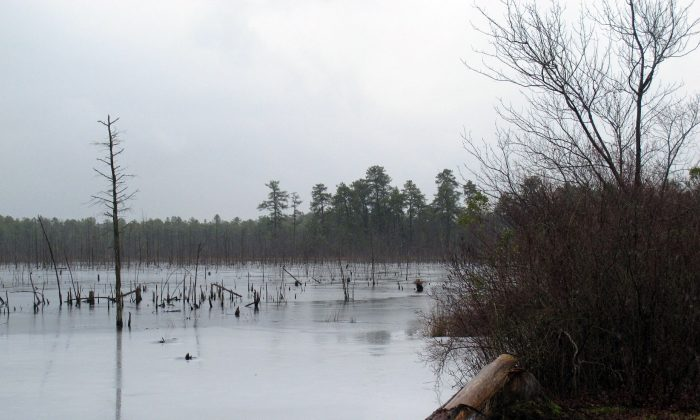A section of the Pinelands region in Lakehurst N.J. on Jan. 6, 2014 AP Photo/Wayne Parry