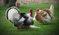 Mississippi Hunter Harvests 'Exceptionally Rare' White Turkey