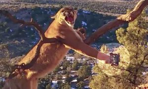 Wildlife Officers Rescue and Free Huge Mountain Lion Stuck in Trap, Risking Their Lives