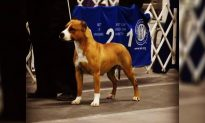 Show Dog Gayle Goes Missing Just Before Boarding Her Flight